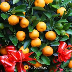 [Far East Flora] Four Seasons Lime; the best festive gift. Bearing fruits in all seasons, a pair at home or in the office