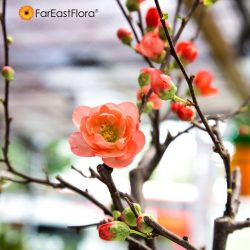 [Far East Flora] It is customary for Chinese to adorn their homes with blossoms during Chinese New Year; for without flowers, there will