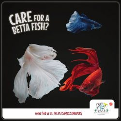 [Pet Lovers Centre Singapore] Betta Fish (Fighting Fish) are spectacular and beautiful pets with a unique temperament!