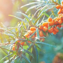 [Origins] Let your skin soak in the vitamin-rich and anti-oxidant properties of the Sea Buckthorn, one of the key